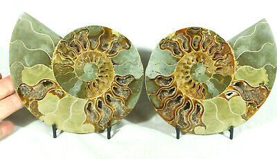 A BIG! Cut and Polished 120 Million Year Old Ammonite Fossil w/Stands! 881gr e