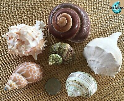 6 Large Medium To Large Sea Shells - For Hermit Crab, Craft Or Collection