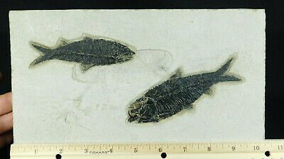 TWO! 50 Million Year Old Fossil Knightia Fish Fossils! From Wyoming 1606gr e