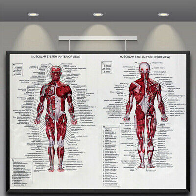 Muscular System Human Chart Muscle Anatomy Chart Body Educational Poster B9W7O