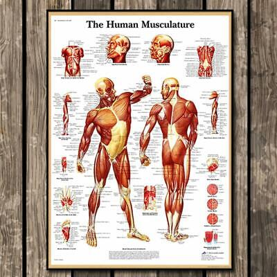 Human Muscular System Education Anatomy Muscle Biceps Poster Print Laminate Top
