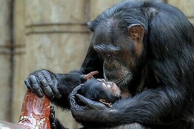 Cute Chimp Baby Monkey Wildlife Canvas Picture Poster Print Unframed 6435