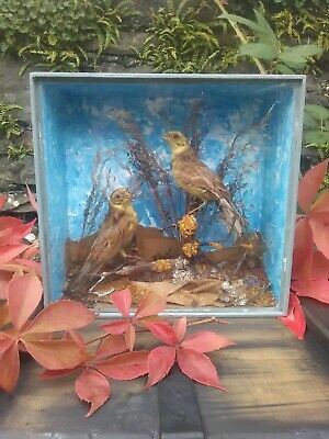 Antique  Up-Cycled Victorian taxidermy wooden box and glass cased x 2 Finches