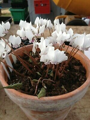 Cyclamen Africanum, 50 seeds, white flowers, seed collected 2019.