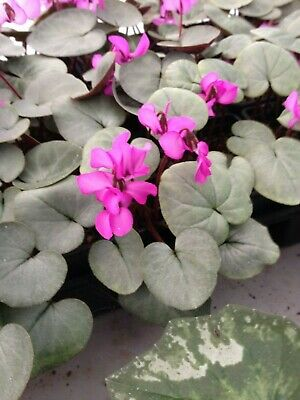 Cyclamen Coum, 25 seeds, silver leafed form, hardy, seed collected 2019.