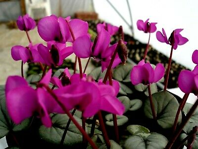 Cyclamen  Meadens Crimson, 25 seeds, hardy, collected 2019.