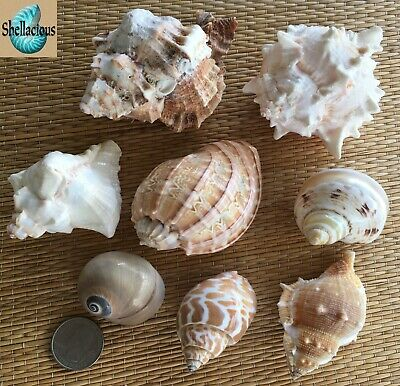8 Large Medium To Large Sea Shells - For Hermit Crab, Craft Or Collection
