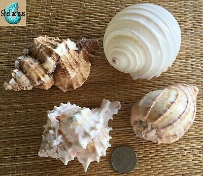 4 Large Sea Shells - For Hermit Crab, Craft Or Collection