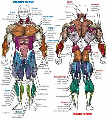 256647 Human System Body Anatomical Chart Muscular Skeletal GLOSSY POSTER AU