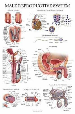 Laminated Male Reproductive System Anatomical Chart - Male Anatomy Poster -