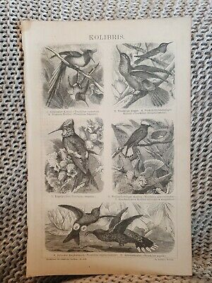Hummingbird - Antique Book Page - c.1885 - German Text