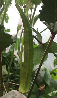 gombo//okra//quiabo 50 graines//seeds//semillas Bowling Red