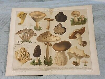 Edible Mushrooms - Antique Book Page - c.1885 - German Text