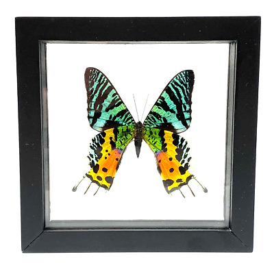 """Real Sunset Moth Butterfly Taxidermy Frame with Double Sided Glass - 6""""x 6"""" : â€"""