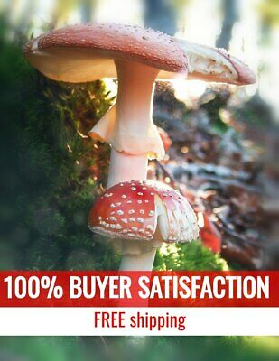 AMANITA MUSCARIA Fly Agaric Dried Mushrooms Caps - Excellent Quality 1 oz 28 gr