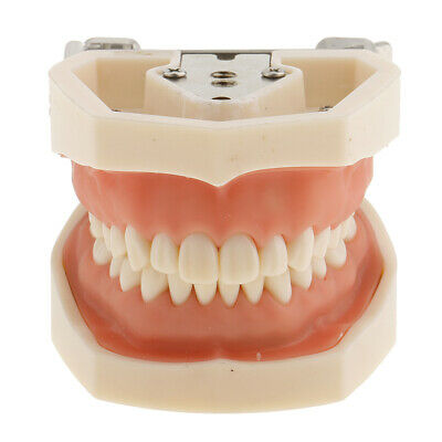 Dental Teaching Study Standard Typodont Demonstration Tooth Teeth Model