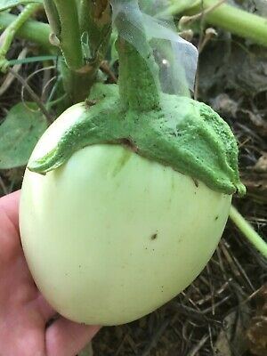Apple Green - aubergine/eggplant/berenjena - 20 graines/seeds/semillas