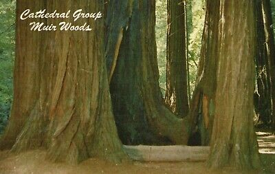 Cathedral Grup, Muir Woods In the California Redwoods Vintage Postcard A48