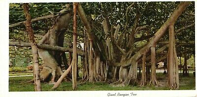Giant Banyan Tree In Tropical Florida, Vintage, Unused Postcard A51