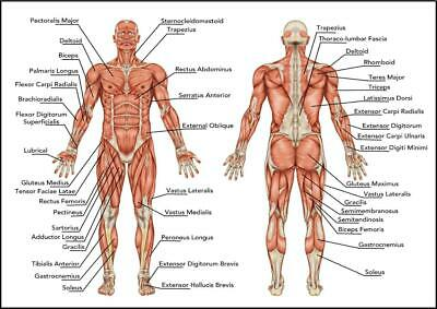 HUMAN ANATOMY MUSCLES OF THE BODY Poster Print Education Science Laminated