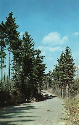 Vacationland Scene, Tall Pines, A Woodland Road Among the Pines Postcard A53
