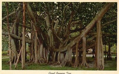 Giant Banyan Tree In Tropical Florida, Vintage, Stamped 1964 Postcard A55