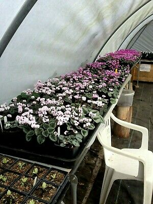 Cyclamen Coum, 50 seeds, mixed colours, hardy, seed collected 2019.