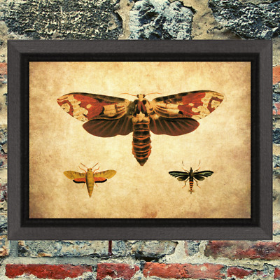 Entomology Moth Bug Insect Curio Art Print Antique Effect Paper Buy 2 Get 1 Free
