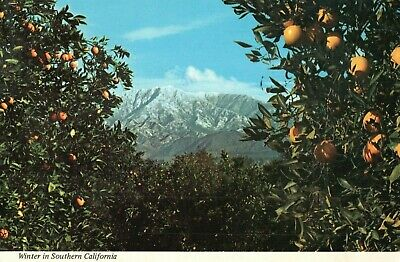 Winter in Southern California, Orange Groves & Snow-capped Mt. Postcard A27