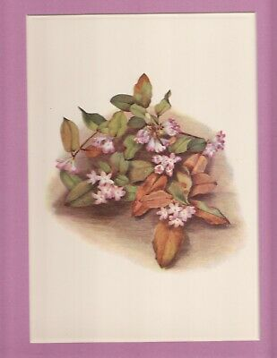 Trailing Arbutus North American Wildflower color litho 1925 LtdEd matted p.126