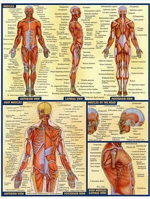 MUSCULAR SYSTEM ANATOMICAL DIAGRAM Poster Print Choose your size Unframed.