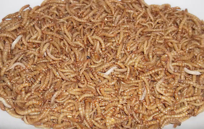 """1000 - Live Mealworm (3/4-1"""") Inches"""