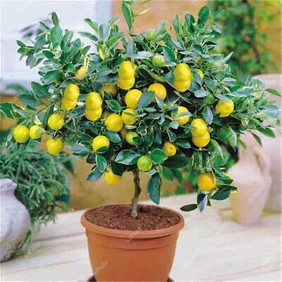 10pcs Lemon bonsai lemon Tree Fruit Tree Garden Courtyard fruit plantsJ YL_AU