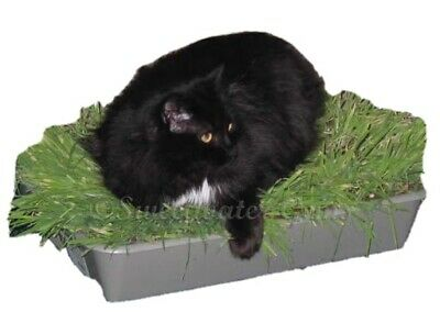 1kg Cat Grass Oat Seed, Organic, Cats Absolutely Love It! ⭐️TOP QUALITY⭐️