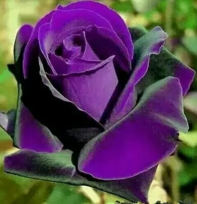 20 pcs Purple Rose Flower seeds Home Garden Rare Flower Seeds