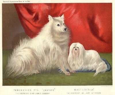 Maltese and Pomeranian Print, Cassell's Book of the Dog — Archivally Framed