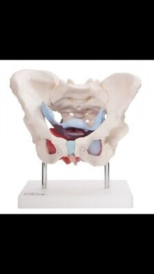 66fit™ Female Pelvic Muscle & Organ Anatomical Model - Medical Training Aid