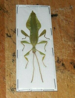 Phyllium Jacobsoni Green Male Real Indonesia Leaf Insect Taxidermy