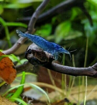 8+2bonus ADULT Blue Dream Velvet Live Aquarium Shrimp Neocaridina FREE SM PLANT