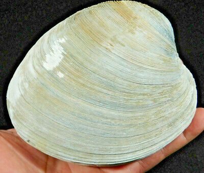 A HUGE! 2 Million YEAR Old 100% Natural Mercenaria CLAM Fossil Florida 833gr