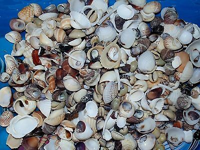"""1/2 POUND SMALL INDIAN OCEAN SEA SHELL MIX 1/4"""" to 1""""  CRAFT NAUTICAL"""