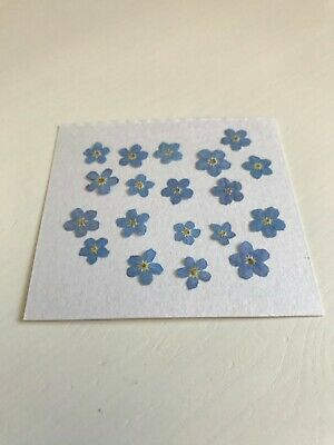 Dried / Pressed Forget-me-not flowers