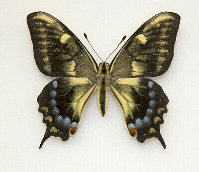 Papilio Machaon - An Extremely Rare Black Aberration
