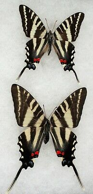 Insect/Butterfly/ Eurytides marcellus - Pair