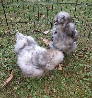 6+ Bearded Silkie Hatching Eggs