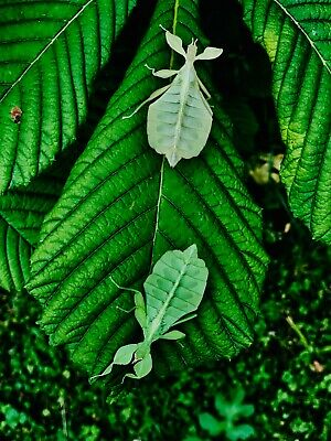 x3 Phyllium Philippinicum / leaf insect nymphs .stick insect