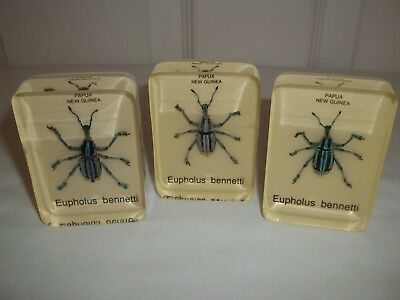 3 Beetle INSECT Paperweights Eupholus Bennetti From Papua,New Guinea Great Gift!