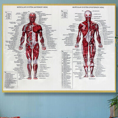 Fashion Anatomy Of The Brain Poster Anatomical Silk Cloth Chart Human Gut Top