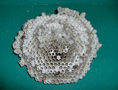 """Real Bees Nest Hive Honeycombs Wasps / Hornets Science Class Biology Crafts 7"""""""