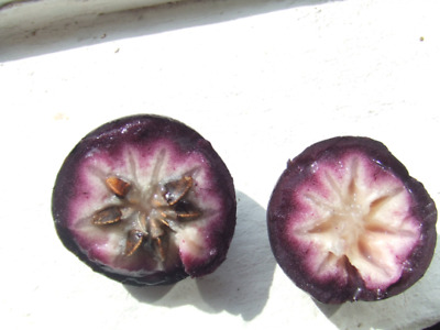 Star Apple 1  Plants Chrysophyllum cainito 1 to 2 Tall Ship in 3 Gal Pot